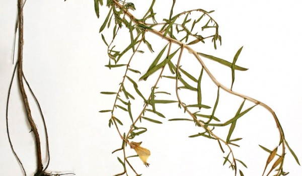 Photo of a pressed herbarium specimen of White Evening-primrose.