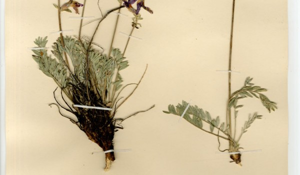 Photo of a pressed herbarium specimen of Hare-footed Locoweed.