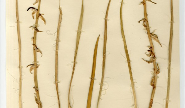 Photo of a pressed herbarium specimen of Soapweed.
