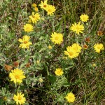 Photo of a Hairy Golden-aster plant.