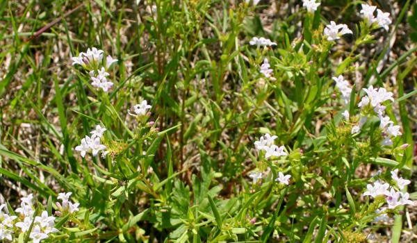 Photo of a Long-leaved Bluets plant.