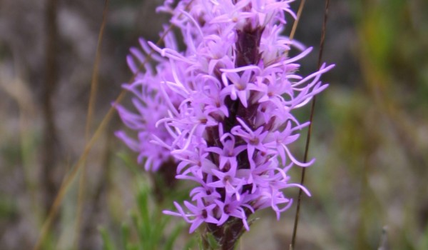 Photo of a Dotted Blazingstar plant.
