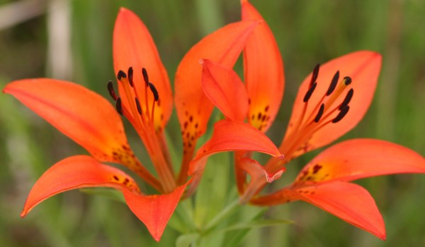 Photo of a Western Red Lily plant.