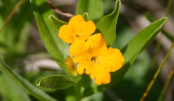 Photo of a Hoary Puccoon plant.