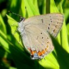 Photo of an Acadian Hairstreak butterfly on a leaf.
