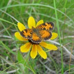 Photo of a Great Spangled Fritillary (Speyeria cybele) on a Dotted Blazingstar flower head.