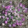 Photo of a Hare-footed Locoweed plant.
