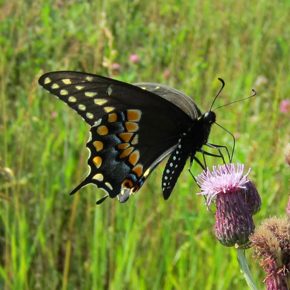 Photo of a Black Swallowtail butterfly on a thistle flower head.