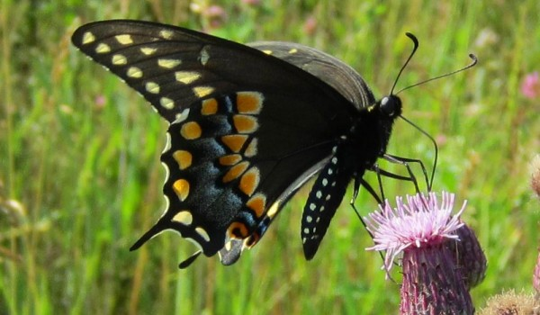 Photo of a Black Swallowtail butterfly on thistle flower head.