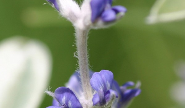 Photo of a Silverleaf Psoralea plant.
