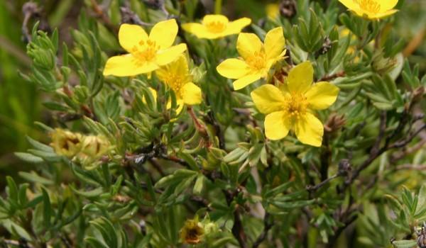 Photo of a Shrubby Cinquefoil plant.