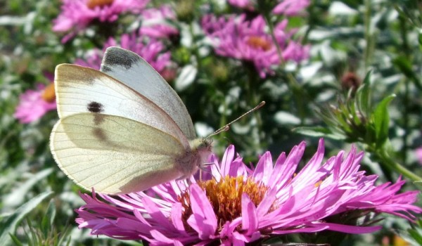 Photo of a Cabbage White butterfly on an aster flower head.