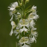 Photo of a Western Prairie Fringed Orchid plant.