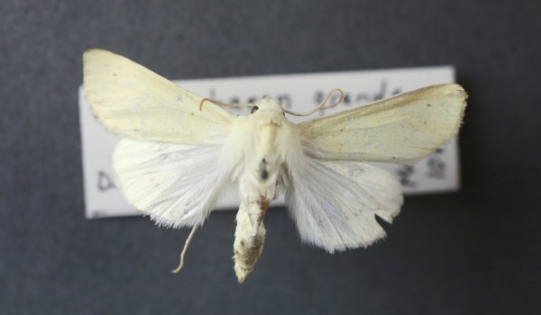 Photo of a Pale Yellow Dune Moth (Copablepharon grandis), back view.