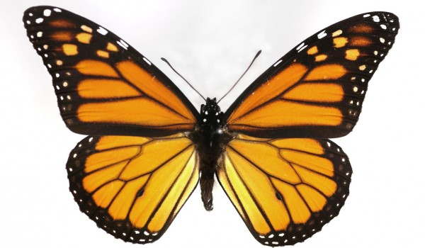 Photo of a preserved specimen of Monarch (Danaus plexippus), back view.