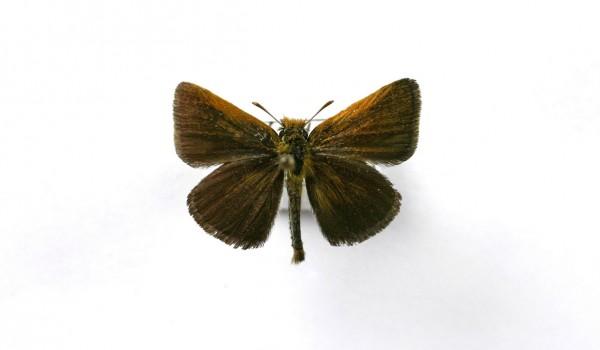 Photo of a preserved specimen of Poweshiek Skipperling (Oarsima poweshiek), back view.