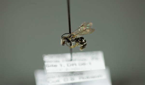 Photo of a preserved specimen of Lasioglossum leucozonium, side view.
