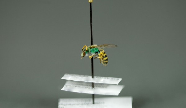 Photo of a preserved specimen of Agapostemon texanus, side view.