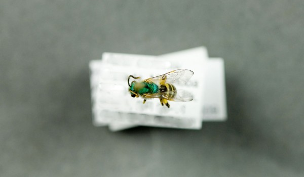 Photo of a preserved specimen of Agapostemon texanus, back view.