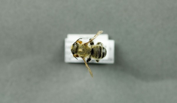 Photo of a preserved specimen of Leafcutting Bee (Megachile latimanus), back view.