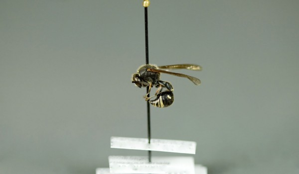 Photo of a preserved specimen of Eumenes, side view.