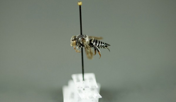 Photo of a preserved specimen of Coelioxys rufitarsus, side view.