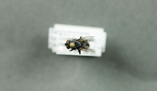 Photo of a preserved specimen of a Flesh Fly species, back view.