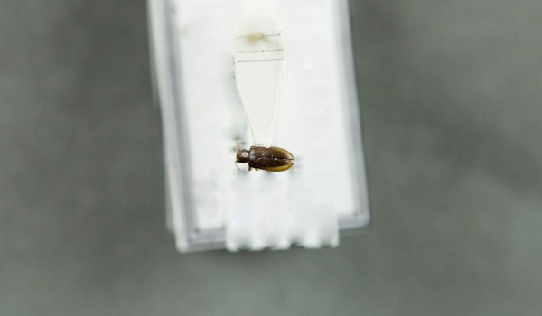 Photo of a preserved specimen of Orsodacne atra, back view.