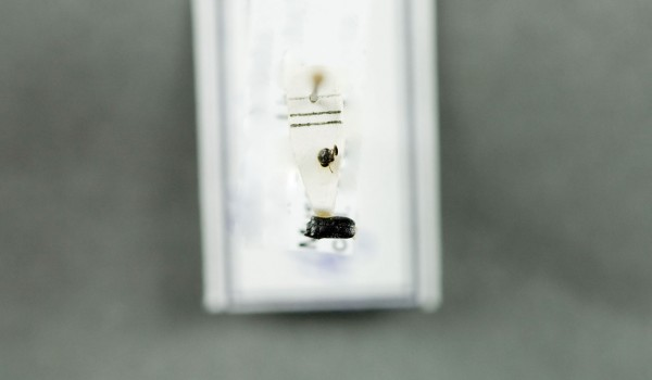 Photo of a preserved specimen of Hydrobaenus, back view.
