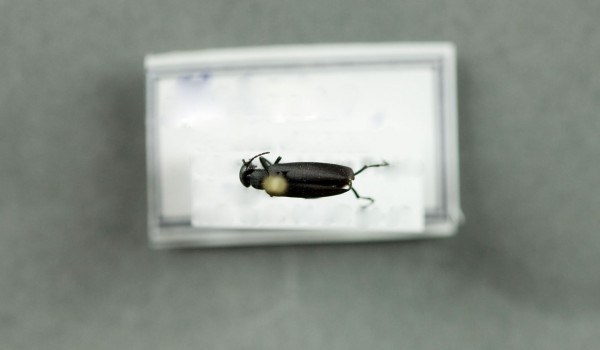 Photo of a preserved specimen of Black Blister Beetle (Epicauta pennsylvanica), back view.