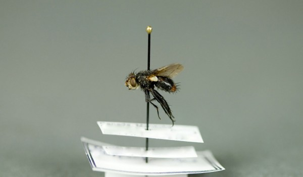 Photo of a preserved specimen of a Flesh Fly species, side view.