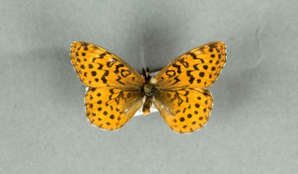 Photo of a preserved specimen of a Meadow Fritillary butterfly (Clossiana bellona), side view.