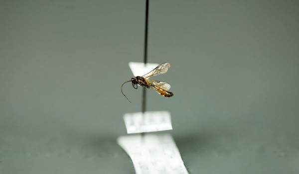 Photo of a preserved specimen of an Oxytorinae species, side view.