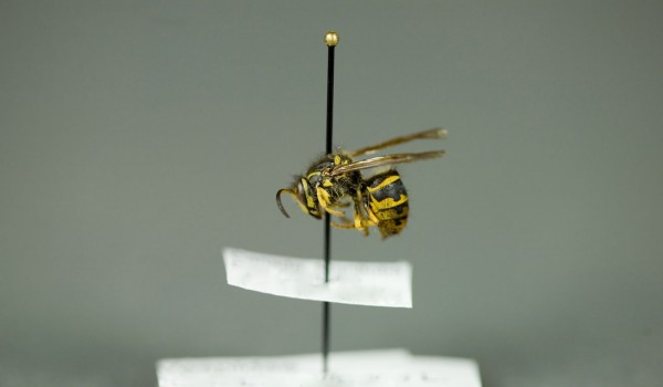 Photo of a preserved specimen of Common Wasp (Vespula vulgaris), side view.