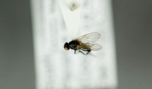 Photo of a preserved specimen of Peratomyia vittata, back view.