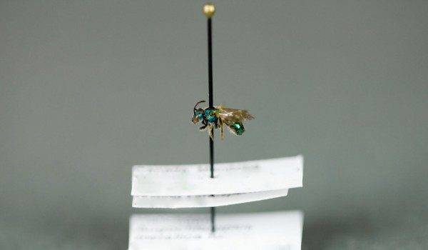 Photo of a preserved specimen of Augochloropsis metallica fulgida, side view.