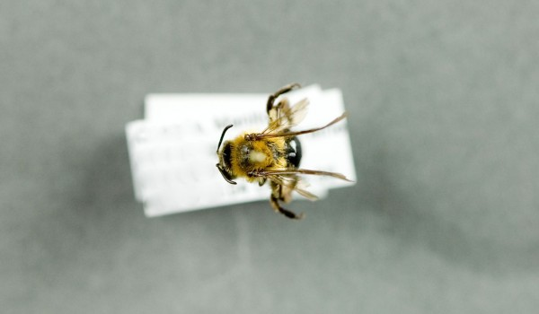 Photo of a preserved specimen of Andrena, back view.