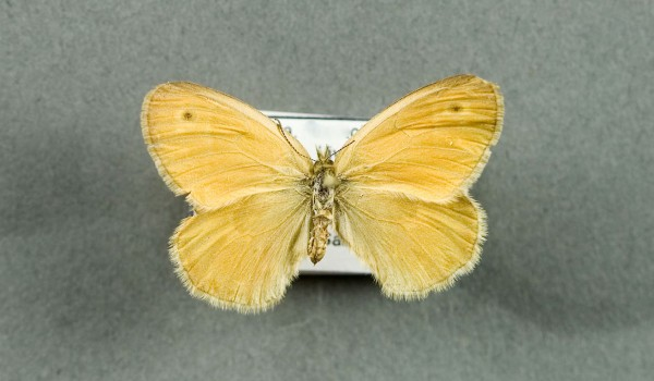 Photo of a preserved specimen of Prairie Ringlet (Coenonympha inornata),  back view.