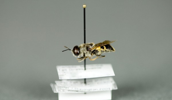 Photo of a preserved specimen of Odontomyia pubescens, side view.