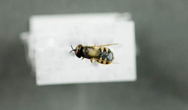 Photo of a preserved specimen of Odontomyia pubescens, back view.