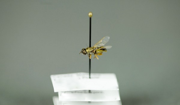 Photo of a preserved specimen of Odontomyia virgo, side view.