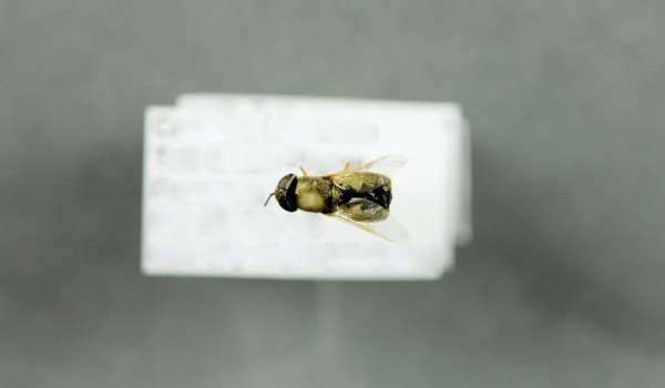 Photo of a preserved specimen of Odontomyia virgo, dorsal view.