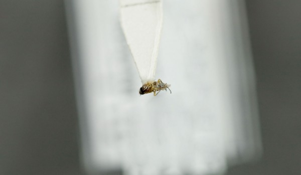 Photo of a preserved specimen of a Grass Fly species, back view.