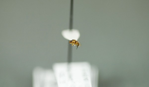 Photo of a preserved specimen of a Grass Fly species, side view.