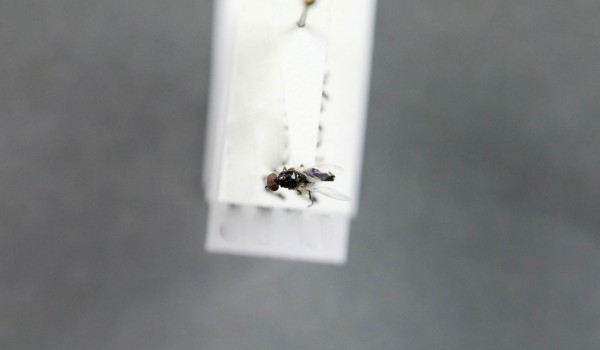Photo of a preserved specimen of Plecia heteroptera, back view.