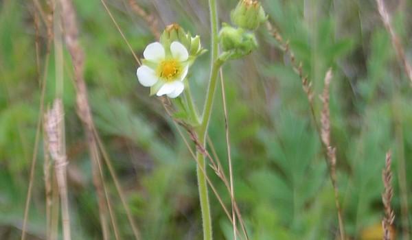 Photo of a White Cinquefoil plant.