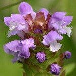 Photo of a Selfheal plant.