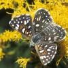 Photo of a Mormon Metalmark butterfly on an aster flower head.