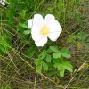 Photo of a Prairie Rose plant.