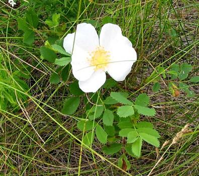 Photo of a Prairie Rose plant.